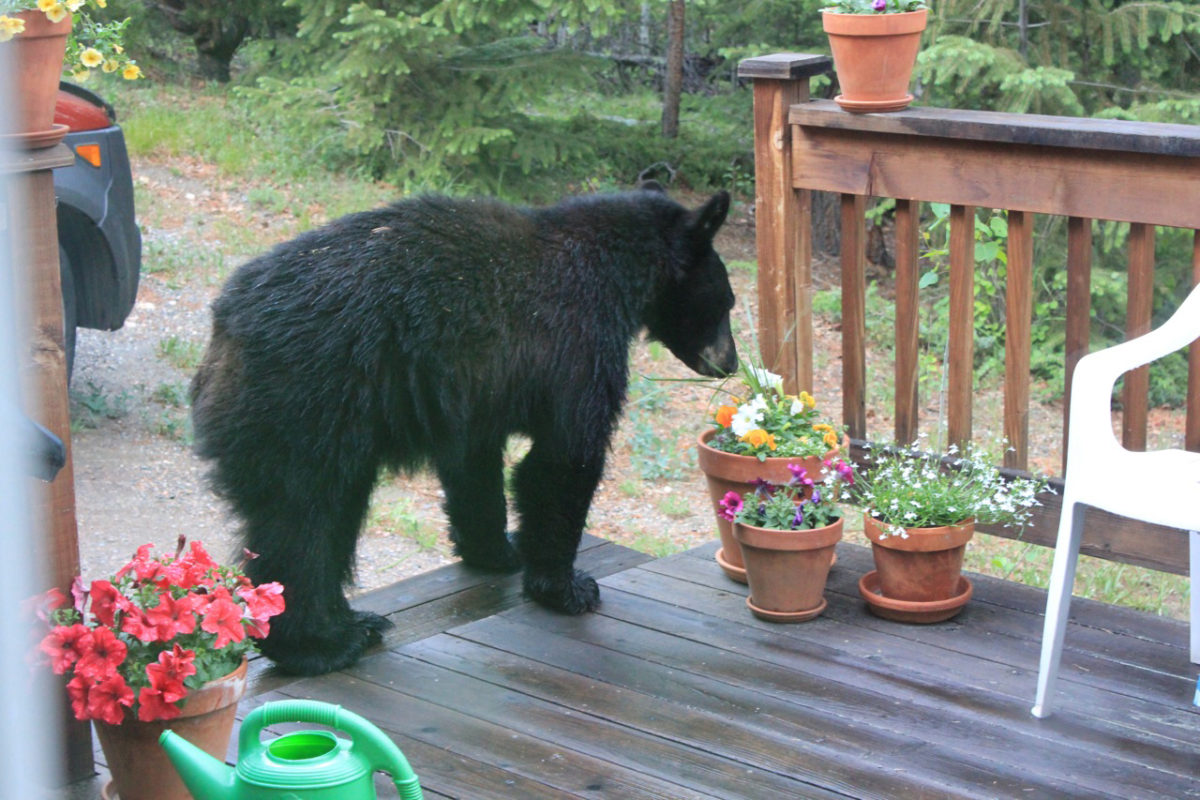 Clean Humor – Colorado Black Bear
