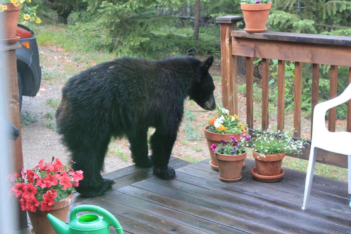 Clean Humor – Colorado Black Bear