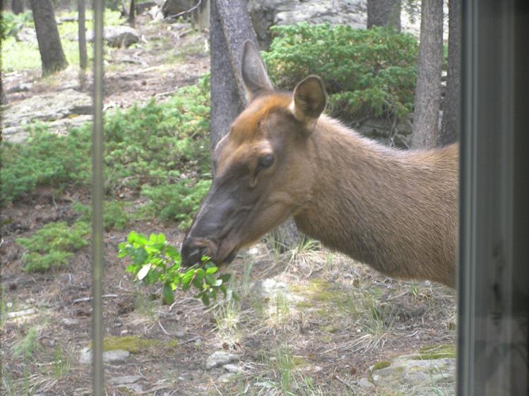 Colorado Rocky Mountain Elk