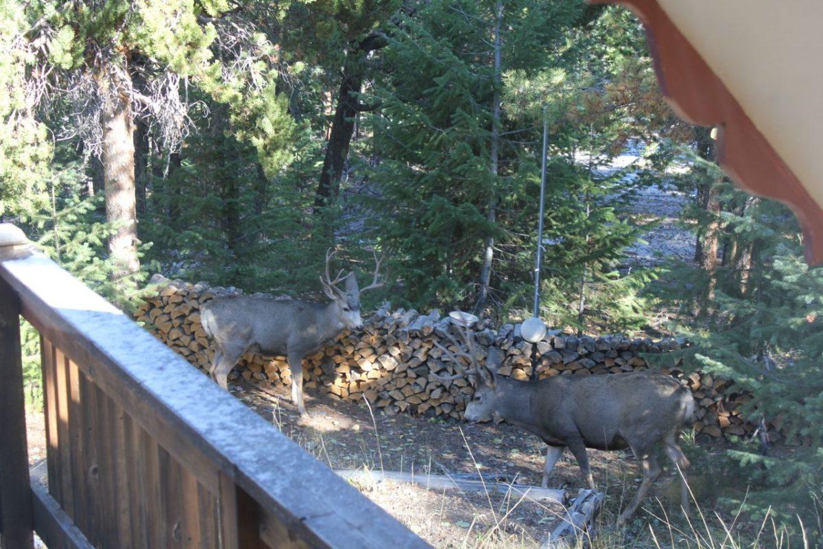 Mule Deer Rut