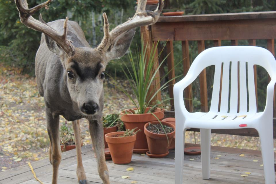 Mule Deer Trick-or-Treaters